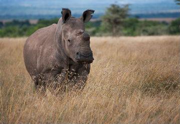 The Last Stand of the Northern White Rhino, Nairobi